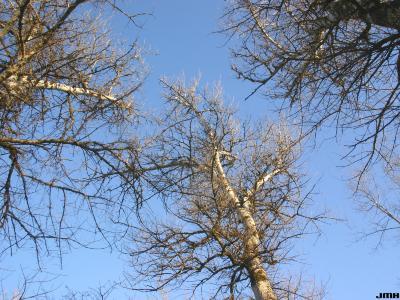 Populus alba L. (white poplar), growth habit, winter tree top