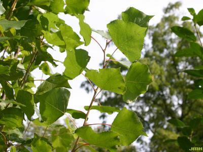 Populus nigra var. thevestina (Dode) Bean (upright black poplar), leaves