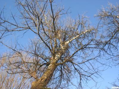 Populus alba L. (white poplar), winter tree structure