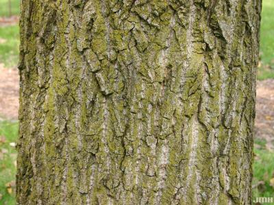 Populus deltoides Marsh. (eastern cottonwood), bark