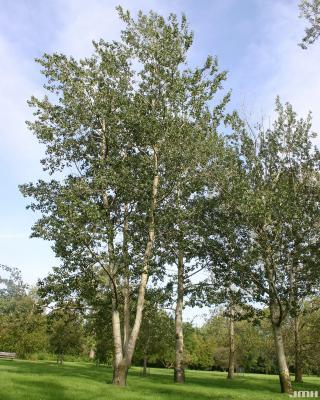 Populus x canescens (Ait.) Smith (gray poplar), growth habit, tree form