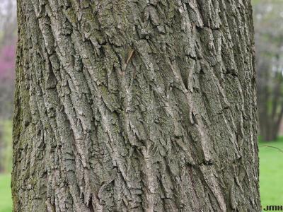 Salix alba 'Tristis' (golden weeping willow), bark