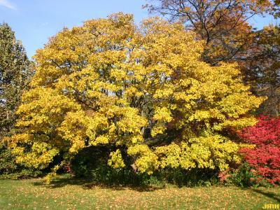 Acer campestre var. leiocarpum (Opiz) Tausch (hedge maple), growth habit, tree form