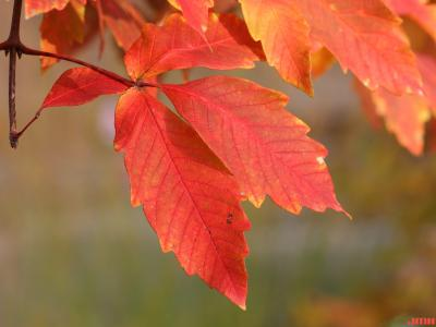 Acer 'Ginzam' (maple – GINGERBREAD™), leaves, fall color