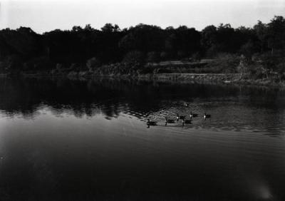 Canada geese on Lake Marmo