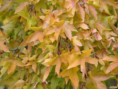 Acer miyabei Maxim. (Miyabe's maple), leaves