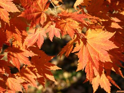 Acer japonicum Thunb. (fullmoon maple), leaves, fall color