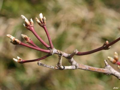 Acer japonicum 'Aconitifolium' (Fern-leaved fullmoon maple), buds