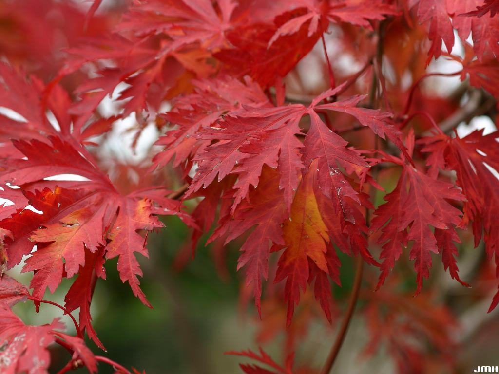 Acer japonicum 'Aconitifolium' (Fern-leaved fullmoon maple), leaves, fall color