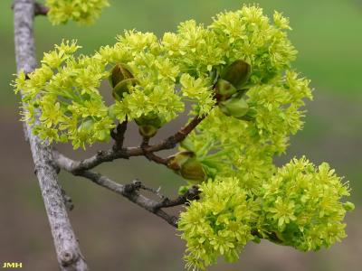 Acer platanoides 'Superform' (Superform Norway maple), close-up of flowers