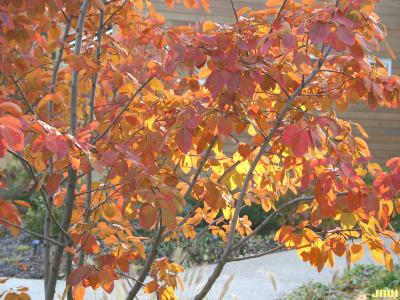Acer rubrum L. (red maple), leaves, fall color