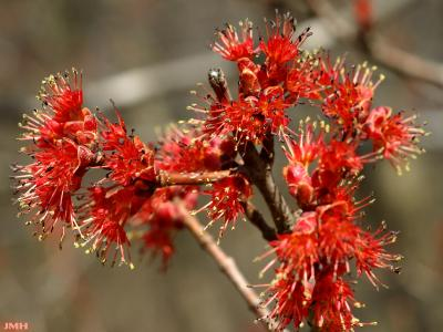 Acer rubrum L. (red maple), close-up of flowers