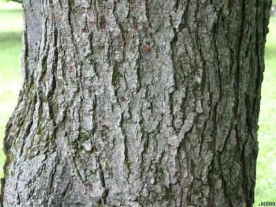 Acer rubrum L. (red maple), bark
