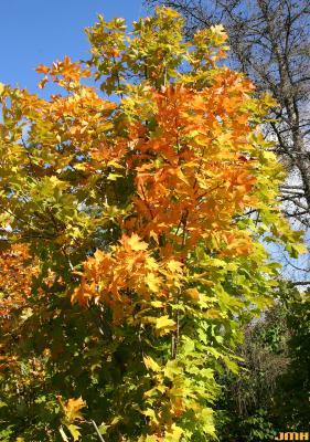Acer saccharum 'Seneca Chief' (Seneca Chief sugar maple), leaves, fall color