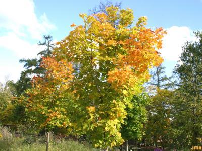 Acer saccharum 'Seneca Chief' (Seneca Chief sugar maple), growth habit, tree form, fall color