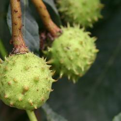Aesculus hippocastanum L. (horse-chestnut), close-up of fruit
