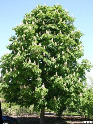 Aesculus hippocastanum L. (horse-chestnut), growth habit, tree form