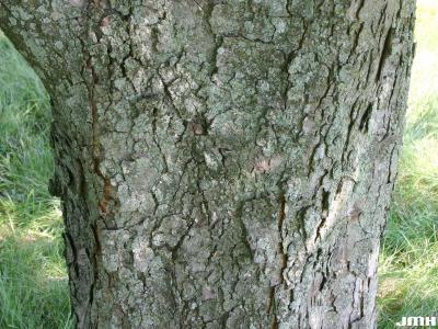 Aesculus hippocastanum L. (horse-chestnut), bark