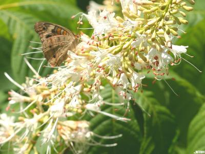 Aesculus parviflora Walt. (bottlebrush buckeye), flowers being visited by a Junonia coenia (Common Buckeye Butterfly)