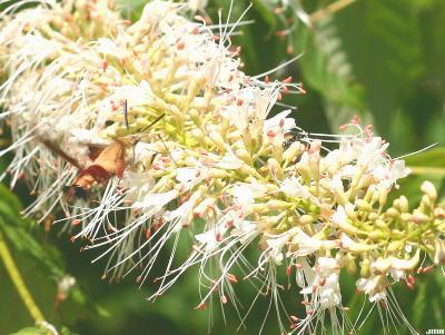 Aesculus parviflora Walt. (bottlebrush buckeye), flowers being visited by a Hemaris thysbe (Hummingbird Moth)