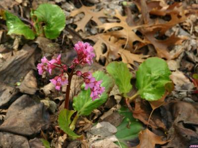Bergenia 'Morgenrote' (Morning Red bergenia), growth habit