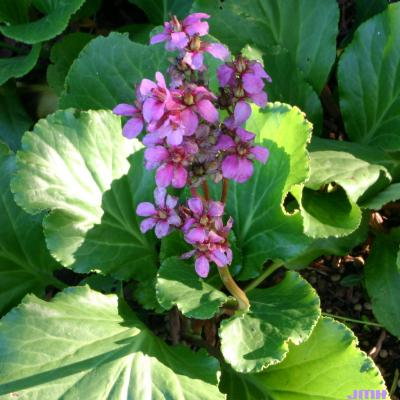 Bergenia 'Rotblum' (Red-flowered bergenia), growth habit