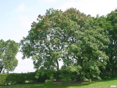 Koelreuteria paniculata Laxm. (golden rain tree), growth habit, tree form