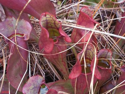 Sarracenia purpurea L. (purple pitcher plant), modified leaves and petioles showing entrapping fluid inside