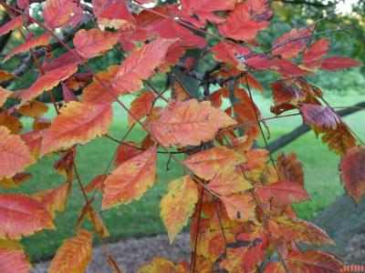 Koelreuteria paniculata Laxm. (golden rain tree), leaves, fall color