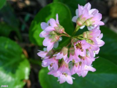 Bergenia 'Baby Doll' (Baby Doll bergenia), close-up of flowers