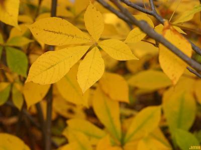 Aesculus parviflora Walt. (bottlebrush buckeye), leaves