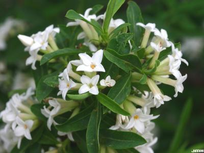 Daphne axilliflora (Keisl.) Pobed. (daphne), flowers