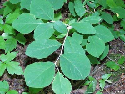 Dirca palustris L. (leatherwood), leaves