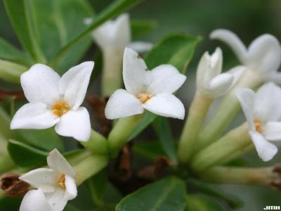 Daphne axilliflora (Keisl.) Pobed. (daphne), close-up of  flowers