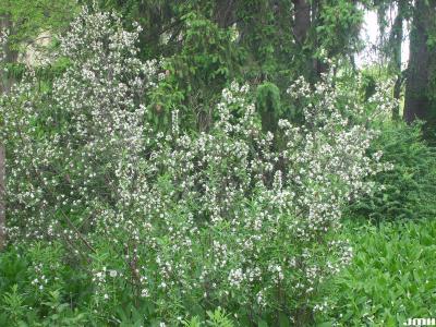 Daphne axilliflora (Keisl.) Pobed. (daphne), growth habit, shrub form