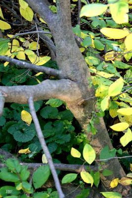 Dirca palustris L. (leatherwood), bark