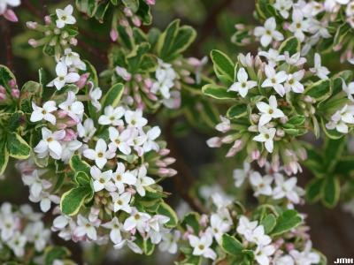 Daphne x burkwoodii 'Carol Mackie' (Carol Mackie Burkwood's daphne), flowers