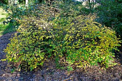 Dirca palustris L. (leatherwood), growth habit, shrub form