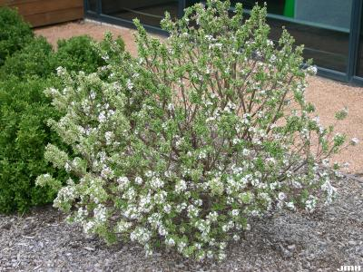 Daphne x burkwoodii 'Carol Mackie' (Carol Mackie Burkwood's daphne), growth habit, shrub form