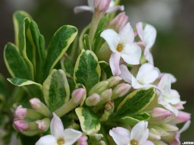 Daphne x burkwoodii 'Carol Mackie' (Carol Mackie Burkwood's daphne), close-up of flowers