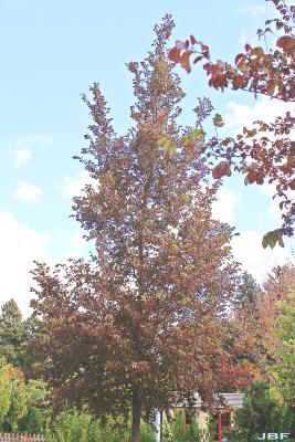 Ulmus 'Frontier' (FRONTIER ELM), growth habit, tree form