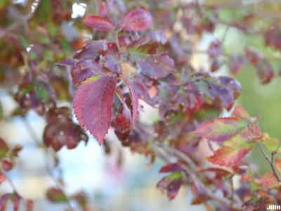 Ulmus 'Frontier' (FRONTIER ELM), leaves, fall color
