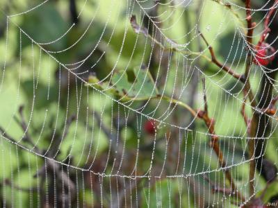 Crataegus pruinosa (Wendl.) K. Koch (frosted hawthorn), branches, spider web