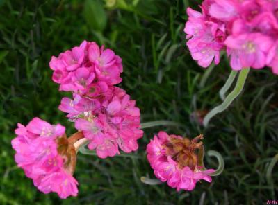 Armeria maritima 'Rubrifolia' (Red-leaved common thrift), flower, stem