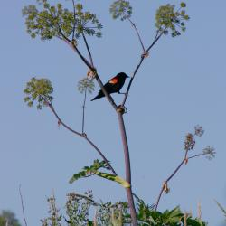 Red-winged blackbird perched on Angelica atropurpurea L. (great angelica) in Schulenberg Prairie