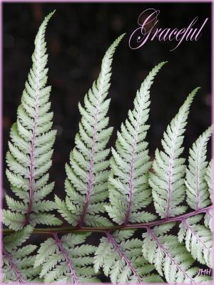 Athyrium niponicum 'Pictum' (Painted Japanese fern), frond