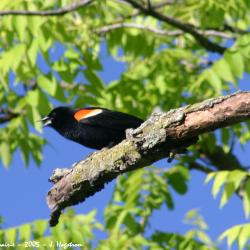 Red-winged blackbird perched on tree branch