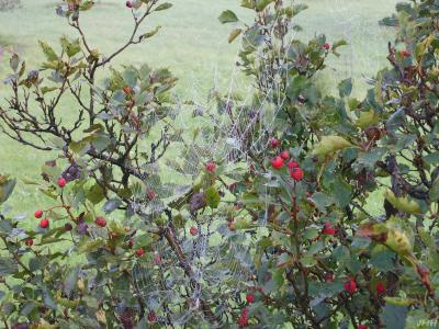 Crataegus pruinosa (Wendl.) K. Koch (frosted hawthorn), branches, leaves, fruit, spider web
