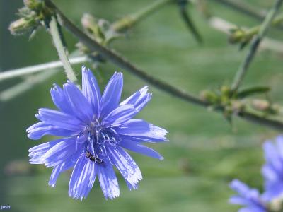 Cichorium intybus (common chicory), flower