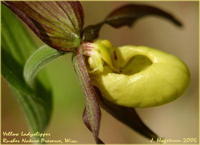 Cypripedium parviflorum Salisb. var. pubescens (Willd.) Knight (greater yellow lady's slipper), flower
